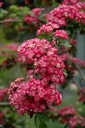 Toba Hawthorn (Crataegus x mordenensis 'Toba') at Glen Echo Nurseries