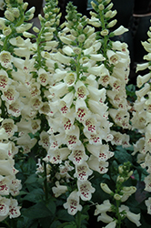 Camelot Cream Foxglove (Digitalis purpurea 'Camelot Cream') at Glen Echo Nurseries