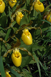 Yellow Lady's Slipper (Cypripedium parviflorum) at Glen Echo Nurseries