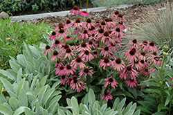 Purple Emperor Coneflower (Echinacea purpurea 'Purple Emperor') at Glen Echo Nurseries