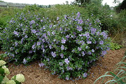 Blue Chiffon® Rose of Sharon (Hibiscus syriacus 'Notwoodthree') at Glen Echo Nurseries