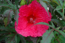 Plum Fantasy Hibiscus (Hibiscus 'Plum Fantasy') at Glen Echo Nurseries