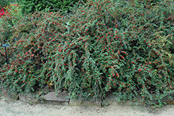 Cranberry Cotoneaster (Cotoneaster apiculatus) at Glen Echo Nurseries