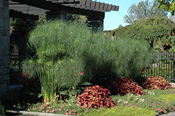 King Tut Egyptian Papyrus (Cyperus papyrus 'King Tut') at Glen Echo Nurseries