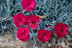 Frosty Fire Pinks (Dianthus 'Frosty Fire') at Glen Echo Nurseries