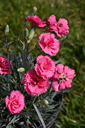 Scent First® Eternity Pinks (Dianthus 'WP05 PP22') at Glen Echo Nurseries