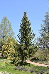 Serbian Spruce (Picea omorika) at Glen Echo Nurseries