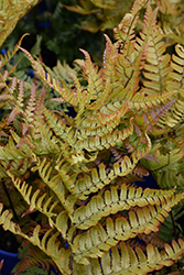 Brilliance Autumn Fern (Dryopteris erythrosora 'Brilliance') at Glen Echo Nurseries