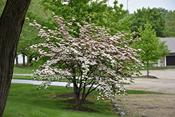 Stellar Pink Flowering Dogwood (Cornus 'Stellar Pink') at Glen Echo Nurseries
