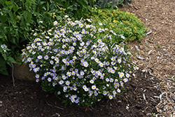 Blue Star Japanese Aster (Kalimeris incisa 'Blue Star') at Glen Echo Nurseries