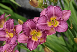 Strutter's Ball Daylily (Hemerocallis 'Strutter's Ball') at Glen Echo Nurseries