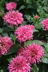 Bubblegum Blast Beebalm (Monarda 'Bubblegum Blast') at Glen Echo Nurseries