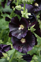 Blacknight Hollyhock (Alcea rosea 'Blacknight') at Glen Echo Nurseries