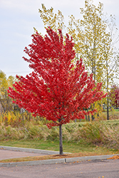 Autumn Spire Red Maple (Acer rubrum 'Autumn Spire') at Glen Echo Nurseries