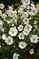 Honorine Jobert Anemone (Anemone x hybrida 'Honorine Jobert') at Glen Echo Nurseries