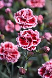 Scent First® Sugar Plum Pinks (Dianthus 'WP IAN04') at Glen Echo Nurseries