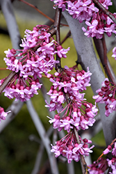 Lavender Twist Redbud (Cercis canadensis 'Covey') at Glen Echo Nurseries