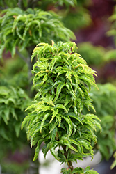 Lions Head Japanese Maple (Acer palmatum 'Shishigashira') at Glen Echo Nurseries