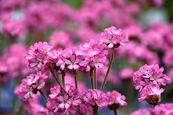 Vesuvius Black-leaved Sea Thrift (Armeria maritima 'Vesuvius') at Glen Echo Nurseries