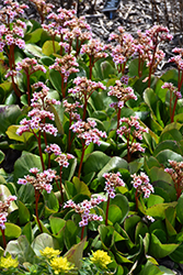 Pink Dragonfly Bergenia (Bergenia 'Pink Dragonfly') at Glen Echo Nurseries