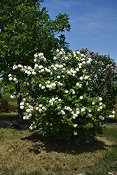 Snowball Viburnum (Viburnum opulus 'Roseum') at Glen Echo Nurseries