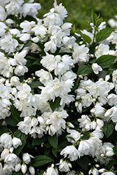 Snowbelle Mockorange (Philadelphus 'Snowbelle') at Glen Echo Nurseries