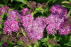Anthony Waterer Spirea (Spiraea x bumalda 'Anthony Waterer') at Glen Echo Nurseries
