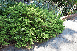 Buffalo Juniper (Juniperus sabina 'Buffalo') at Glen Echo Nurseries