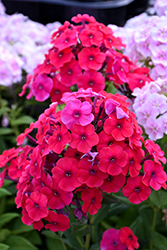 Red Riding Hood Garden Phlox (Phlox paniculata 'Red Riding Hood') at Glen Echo Nurseries