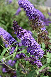 Purple Emperor Butterfly Bush (Buddleia davidii 'Purple Emperor') at Glen Echo Nurseries