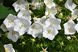 White Clips Bellflower (Campanula carpatica 'White Clips') at Glen Echo Nurseries