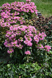 Pardon My Pink Beebalm (Monarda didyma 'Pardon My Pink') at Glen Echo Nurseries