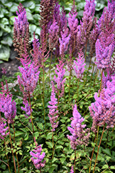 Purple Candles Astilbe (Astilbe chinensis 'Purple Candles') at Glen Echo Nurseries