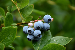 Northcountry Blueberry (Vaccinium 'Northcountry') at Glen Echo Nurseries