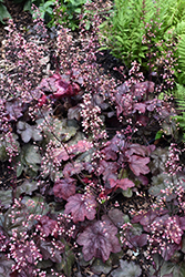 Carnival Candy Apple Coral Bells (Heuchera 'Candy Apple') at Glen Echo Nurseries