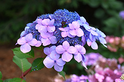 Twist-n-Shout® Hydrangea (Hydrangea macrophylla 'PIIHM-I') at Glen Echo Nurseries