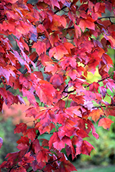 Red Maple (Acer rubrum) at Glen Echo Nurseries