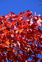 October Glory Red Maple (Acer rubrum 'October Glory') at Glen Echo Nurseries