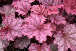 Berry Smoothie Coral Bells (Heuchera 'Berry Smoothie') at Glen Echo Nurseries