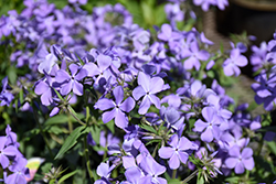 Blue Moon Phlox (Phlox divaricata 'Blue Moon') at Glen Echo Nurseries