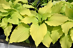 Dancing Queen Hosta (Hosta 'Dancing Queen') at Glen Echo Nurseries