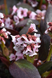 Dragonfly™ Angel Kiss Bergenia (Bergenia 'Angel Kiss') at Glen Echo Nurseries
