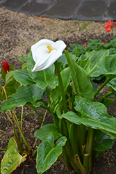Calla Lily (Zantedeschia aethiopica) at Glen Echo Nurseries