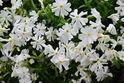 Early Spring™ White Moss Phlox (Phlox subulata 'Early Spring White') at Glen Echo Nurseries